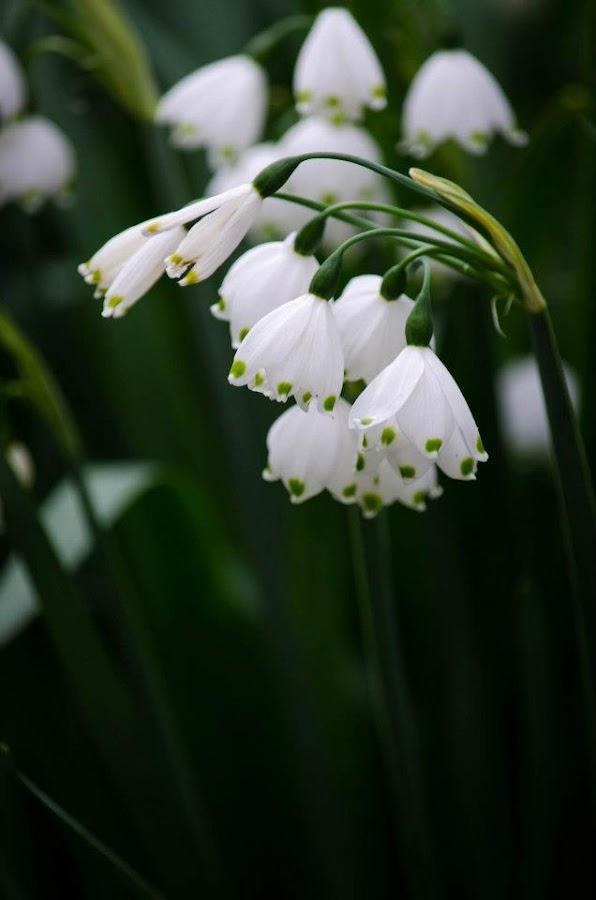 Summer Snow by Nancy Zack - Flowers Flower Gardens