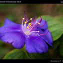 Glory Bush / Arbusto de la Gloria