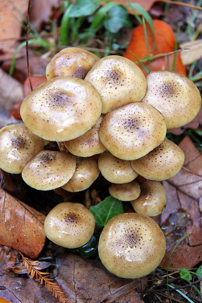 Cogumelos - Armillaria mellea