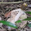 Long Net Stinkhorn