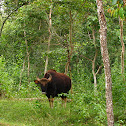 Gaur / Indian bison