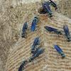 Cabatatu/Synoeca Social Wasp