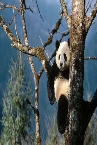 免費娛樂App|Panda Wallpapers HD|阿達玩APP