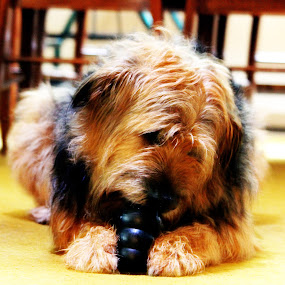 Roper by Geoff Gosse - Animals - Dogs Playing ( playing, toy, pets, dog, orton effect,  )