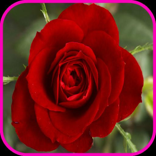 玫瑰壁紙 個人化 LOGO-阿達玩APP