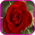Rose Wallpaper icon
