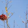Burst pomegranate