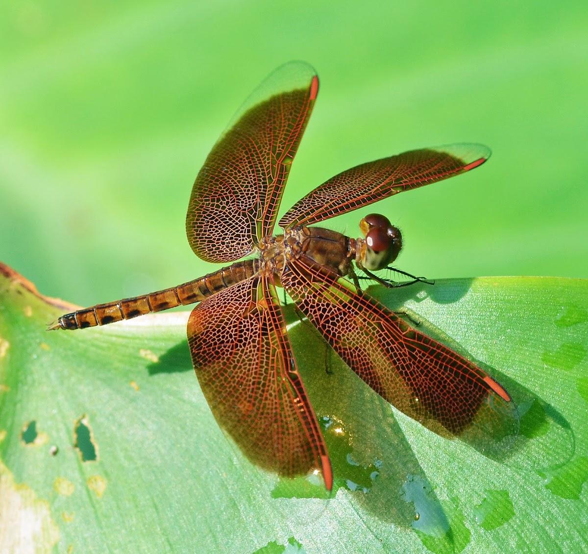 Common Parasol (male)