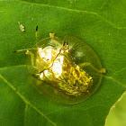 GoldenTortoise beetle