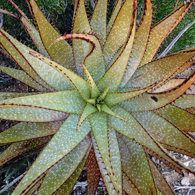 Aloe by Martin Oosthuizen - Nature Up Close Other plants ( plant, aloe, nature, pattern, circle )