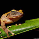 Blunt snouted shrub frog