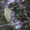 Beard Lichen