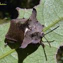 Horned tortoise beetle