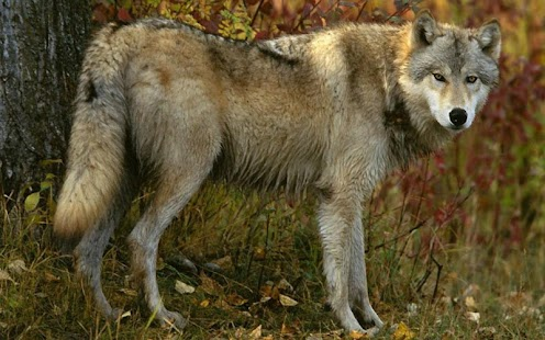 Wolf Jigsaw Puzzles- screenshot thumbnail
