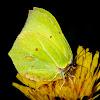 Brimestone Butterfly