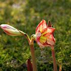 Variegated amaryllis