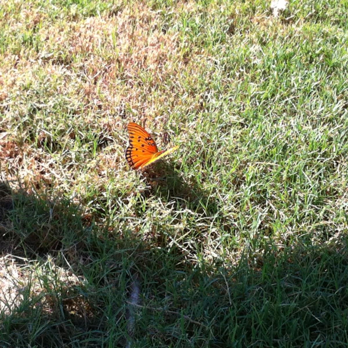 Butterfly: Gulf Fritillary