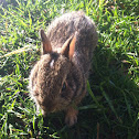 Baby Eastern Cottontail Rabbit