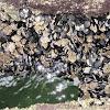 flea mussel