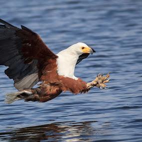 African Fish Eagle by Tom Esterhuizen - Animals Birds ( chobe, botswana, african, fishing, eagles )