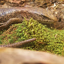 Northern Alligator Lizard