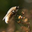 Dischistus fly