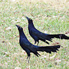 Great-tailed Grackle or Mexican Grackle