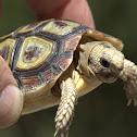 Padloper or Parrot-beaked tortoise