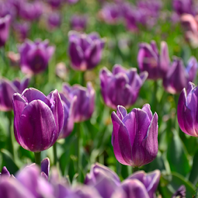 Tulips by Selçuk Özkan - Flowers Flowers in the Wild ( tulip, tulips, flowers, flower )