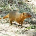 Mongoose - Dwarf Mongoose