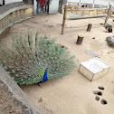 Peafowl / Peacock