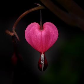 One Heart by Liz Crono - Flowers Single Flower ( love, macro, heart, flower )