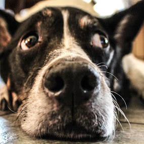 by Ronnie Newman - Animals - Dogs Portraits ( #showusyourpets, dog, #garyfongpets, dog on floor,  )