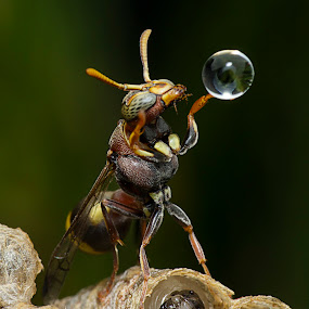 Wasp Blowing Away Water Ball 150128 by Carrot Lim - Animals Insects & Spiders