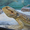 Lawson's Bearded Dragon