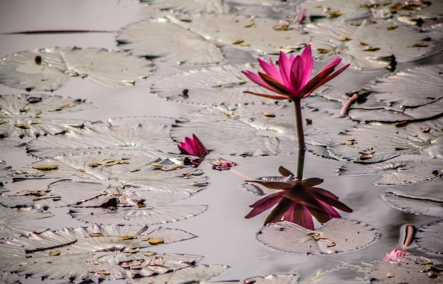 by Sanjib Milon - Flowers Flowers in the Wild ( water lily )