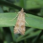 Lucerne Moth - Hodges#5156
