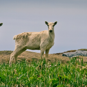 Caribou in spring by Eugene Ball - Animals Other Mammals ( does, mammals, animals, spring, caribou )