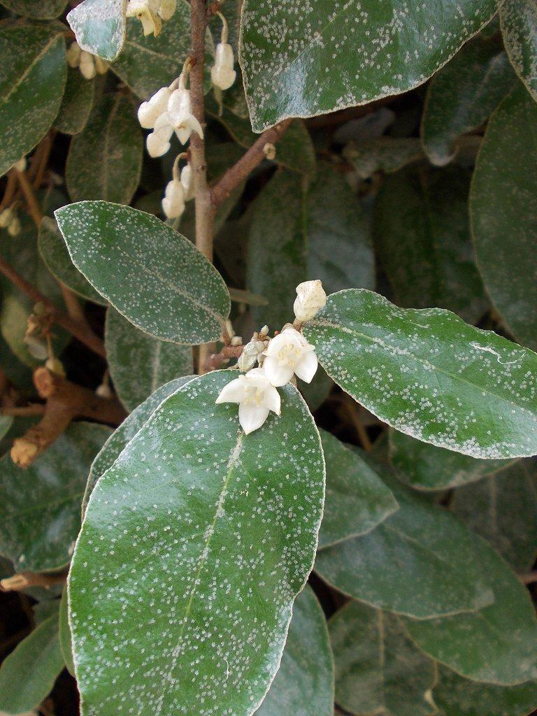 Oleaster (Ελαίαγνος)