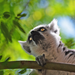 Lemur in the Trees by Peter Murnieks - Animals Other ( green, white, lemur, leaves, eyes, safety, sky, blue, hiding, fur, black, branches, animal,  )