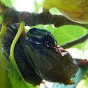 Hermit beetle