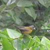 Passerin's or Cherrie's tanager