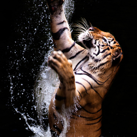 jump tiger by Ivan Lee - Animals Lions, Tigers & Big Cats ( water, grab, tiger, splash, king, jump,  )