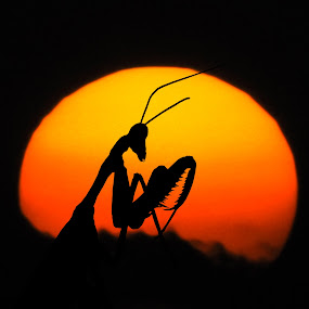 Alien by Mohamed Mahdy - Animals Insects & Spiders ( sun, moon · silhouette · light.alien insect · praying mantis, , silhouette )