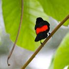 Scarlet-rumped Tanager