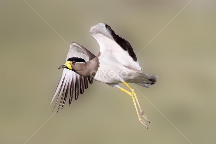 Yellow-wattled lapwing..taking off by Vijendra Parmar - Animals Birds ( birding in udaipur, yellow-wattled lapwing, taking off, birding in india, bird photography, birding taking off )
