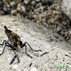 Robber fly -