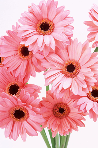 Download pink flowers wallpapers for pc for Bright pink wallpaper uk
