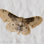 Lustrous Least Carpet Moth