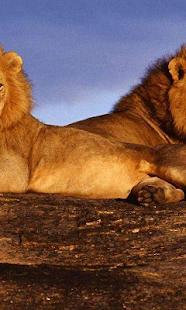 非洲獅子壁紙